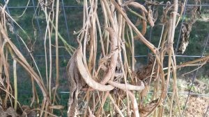 dry bean pods ready for seed harvest. These will be planted next year.